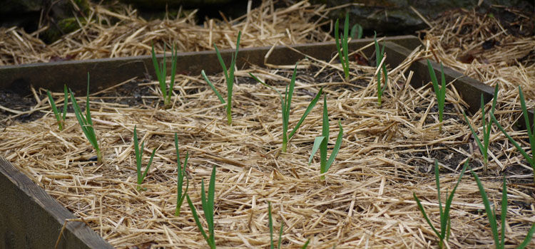 Garlic in a mulched no-dig bed