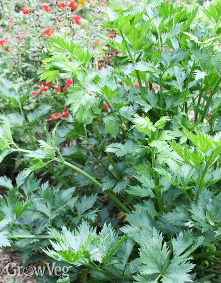 How do you grow celery?