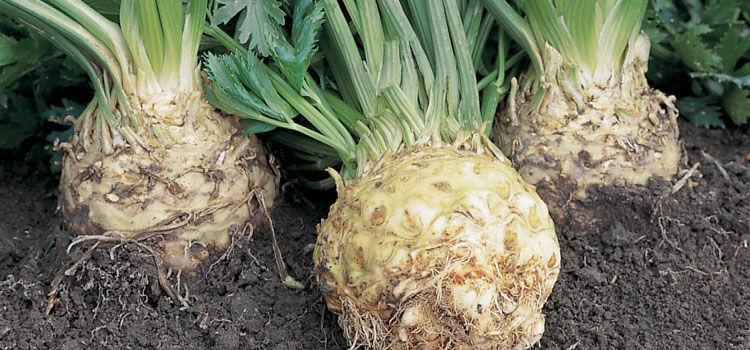 Celeriac 'Ilona'