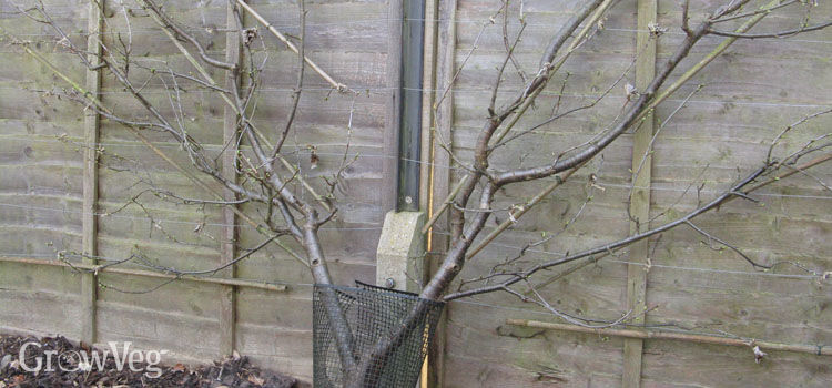 Sour cherry trained against a fence