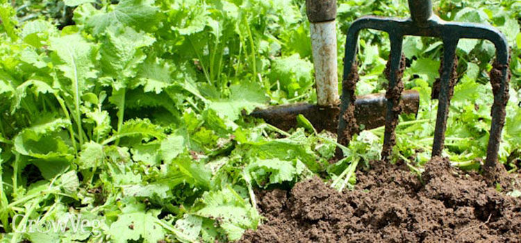 Growing Cover Crops in Your Organic Garden