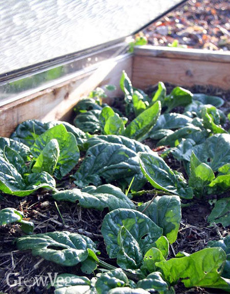 Growing spinach in a cold frame