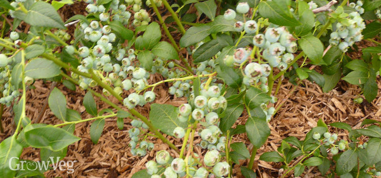 Blueberries with wood chip mulch