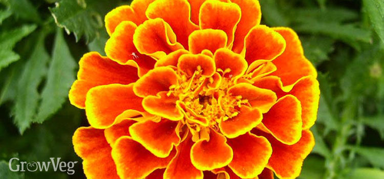 French marigolds provide bright color in the fall garden