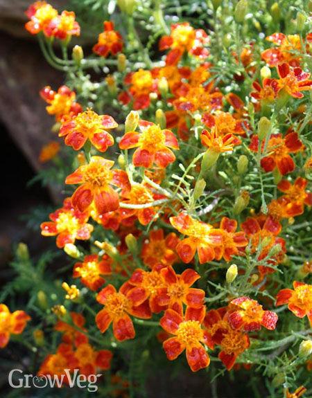 Gem marigolds