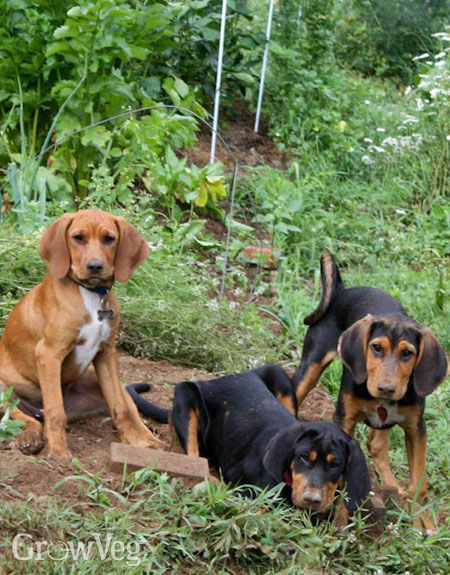 Dogs digging in vegetable garden