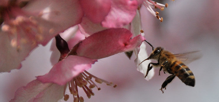 Bee pollinating crab apple blossom