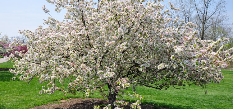 Crab apple tree covered in blossom