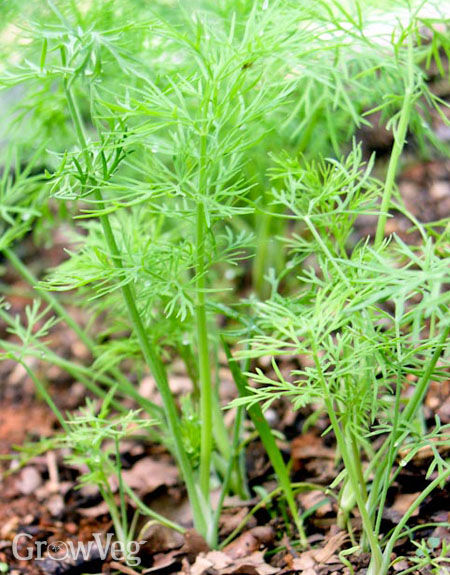 Growing and Harvesting Garden Dill