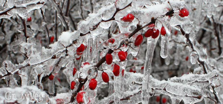 Berries covered in ice