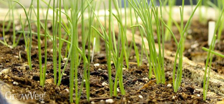 Shallot seedlings