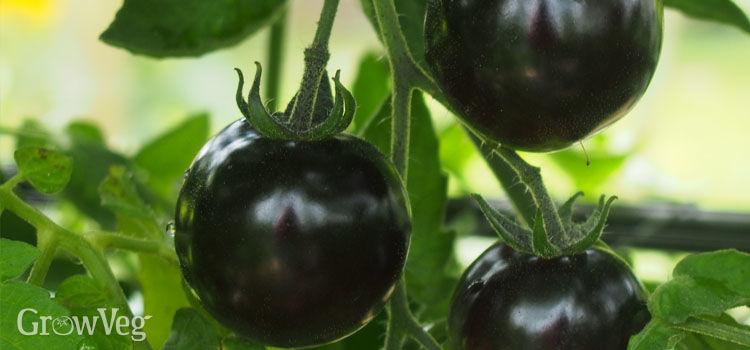 Purple tomatoes 'Indigo Rose'