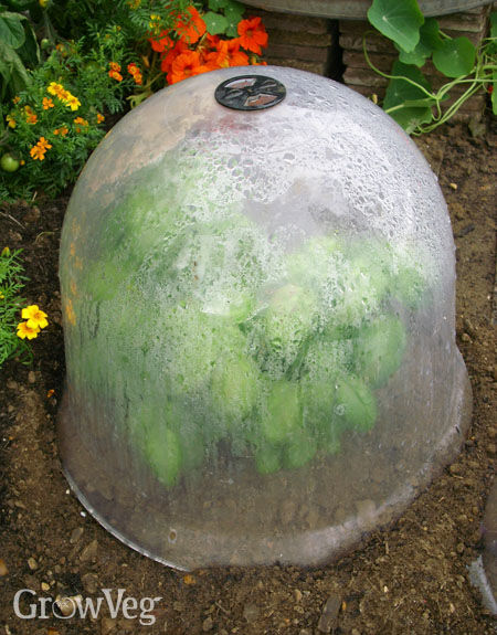 Protecting plants with a bell cloche