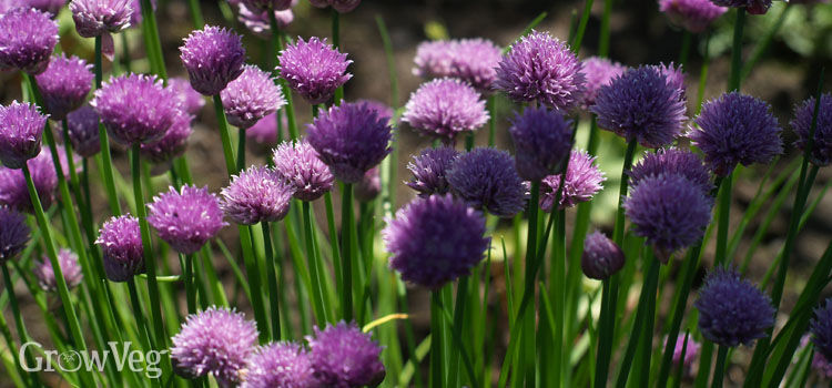 Chives grow well in partial shade