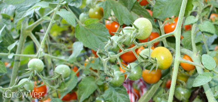 Cherry tomatoes 'Sungold'