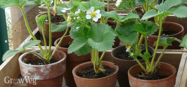 Strawberries in pots