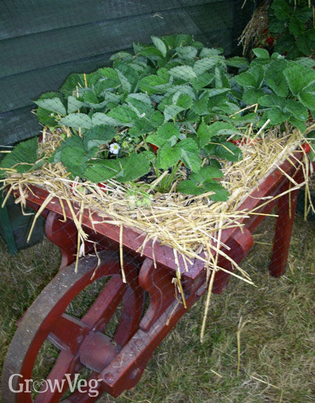 Strawberries growing in a wheelbarrow