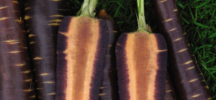 Carrot 'Purple Haze'