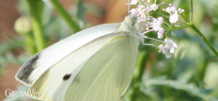 https://res.cloudinary.com/growinginteractive/image/upload/q_80/v1446237256/growblog/cabbage-white-2x.jpg