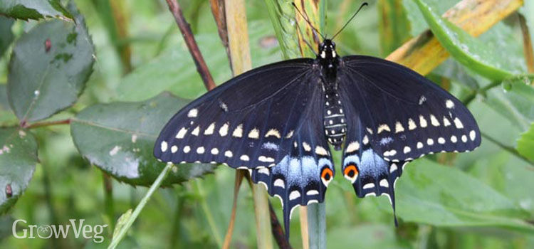 https://res.cloudinary.com/growinginteractive/image/upload/q_80/v1446238215/growblog/black-swallowtail-2x.jpg