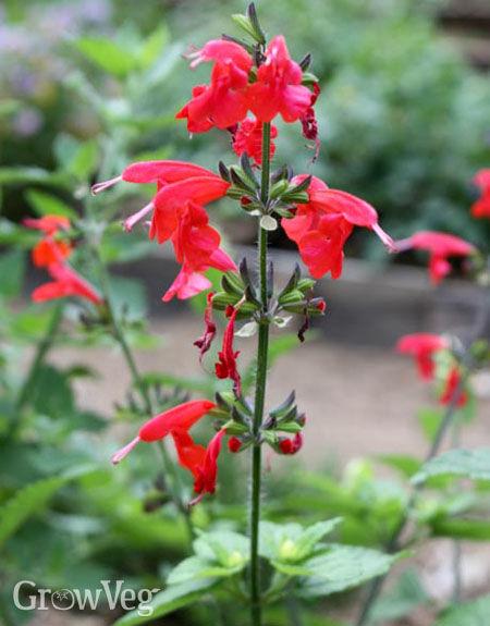 Scarlet sage, <i>Salvia coccinea</i>