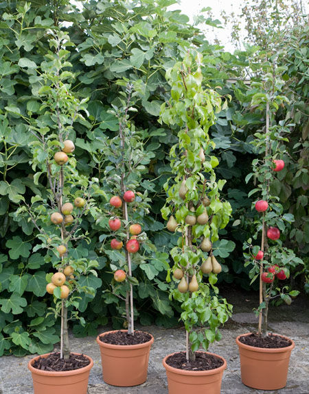 Cordon Fruit Trees: How to Get the Best Harvest From a Small Garden
