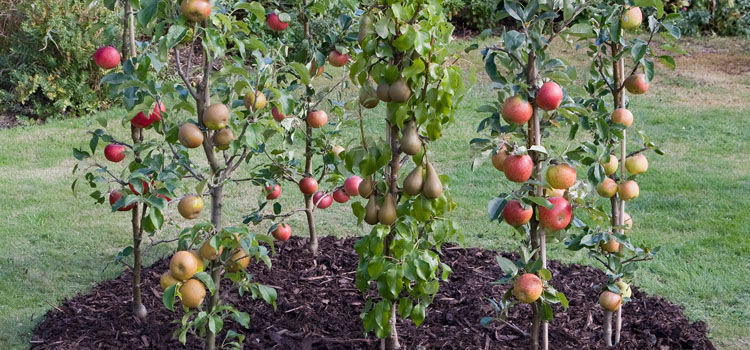 Cordon fruit trees
