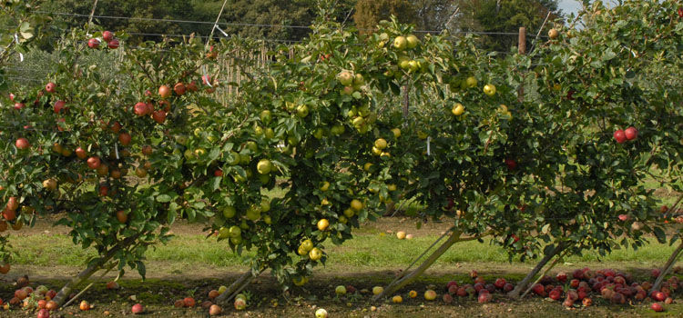 Cordon apple trees