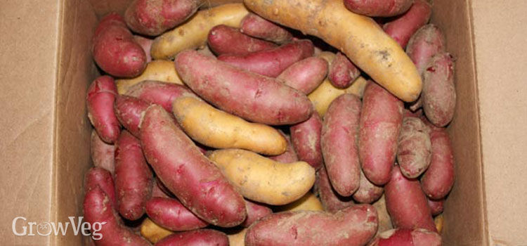 Storing homegrown potatoes