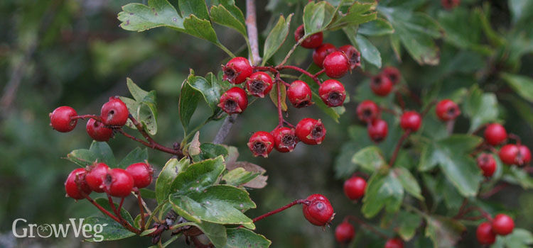 Hawthorn berries, also knows as haws