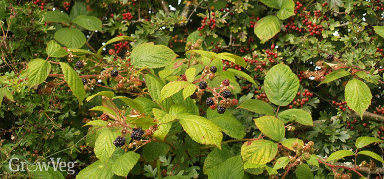 https://res.cloudinary.com/growinginteractive/image/upload/q_80/v1446290362/growblog/blackberries-hawthorn.jpg