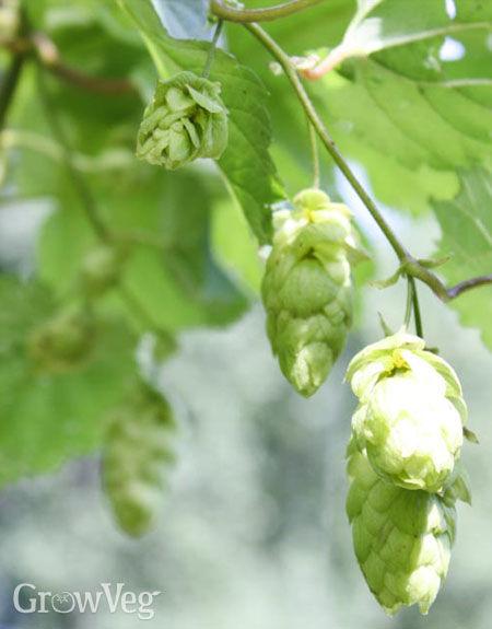 Beer buds