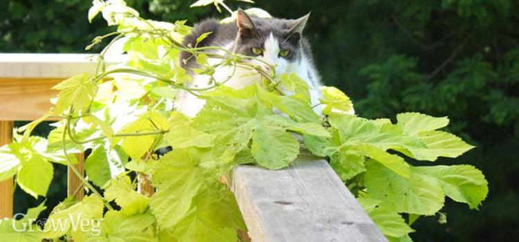 Hops growing over deck railings