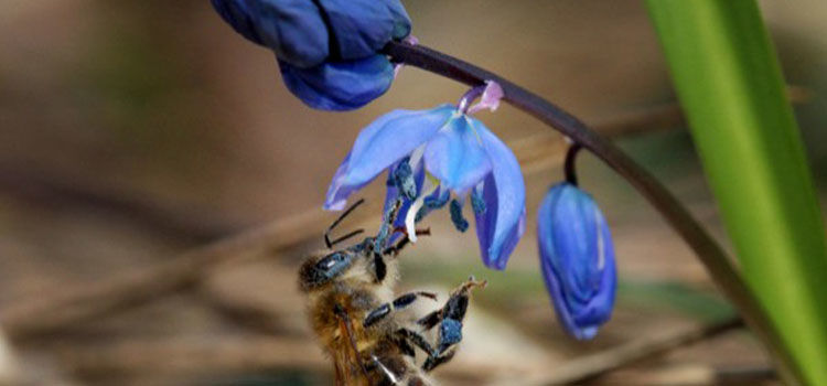 Scilla flowers with bee