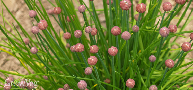 Chives buds about to flower