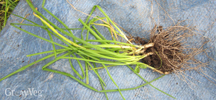 Divided clump of chives for forcing