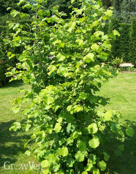 Hazelnut tree or shrub