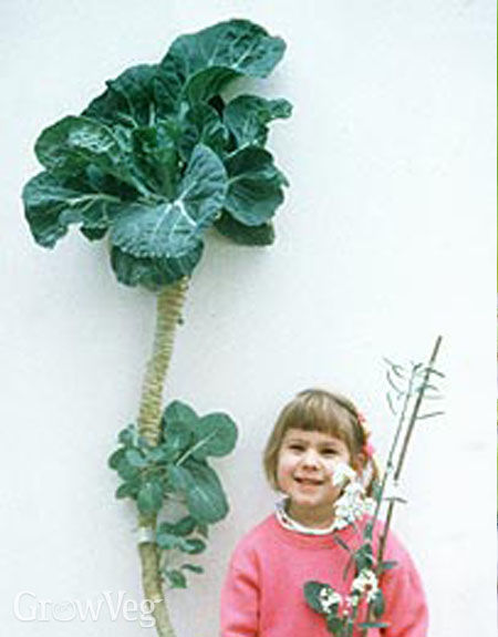 Unvernalised five-year-old cabbage