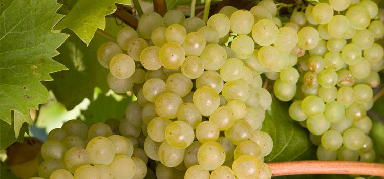 https://res.cloudinary.com/growinginteractive/image/upload/q_80/v1446303914/growblog/grapes-2x.jpg