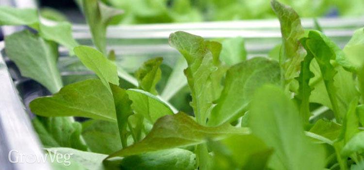 Growing lettuce seedlings under lights
