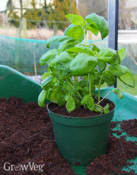 Basil growing in homemade potting mix