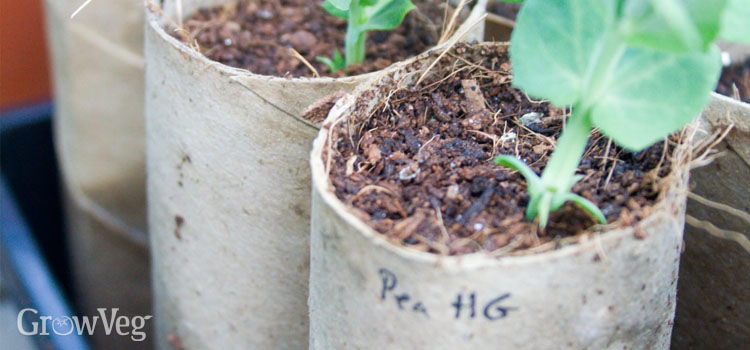 Pea seedlings in recycled toilet roll tubes