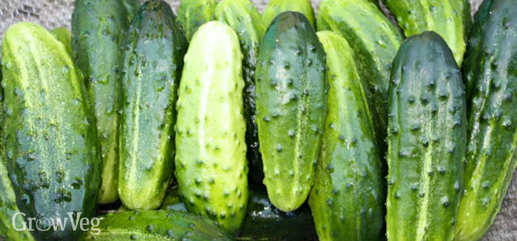 Cucumbers for canning and making pickles