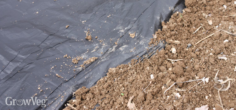 Warming soil with black plastic mulch