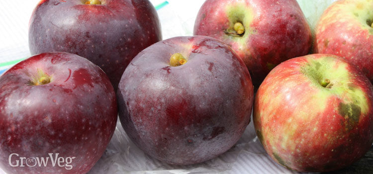Left hand apples were bagged against codling moth; right-hand apples were not bagged