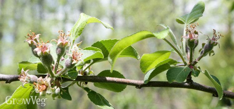 Apple tree before thinning