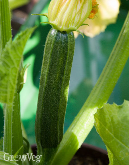 Zucchini fruit with flower attached