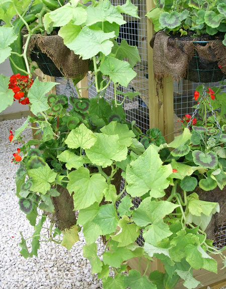 Courgettes in hanging baskets