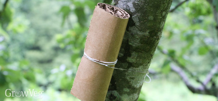 Earwig tree trap
