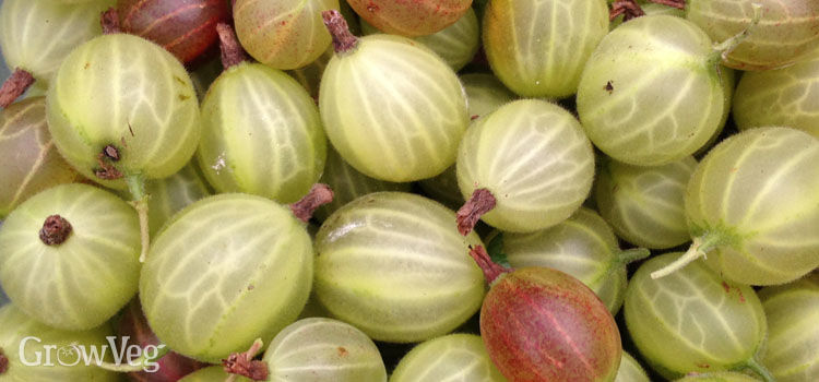 https://res.cloudinary.com/growinginteractive/image/upload/q_80/v1446331541/growblog/gooseberries-2x.jpg